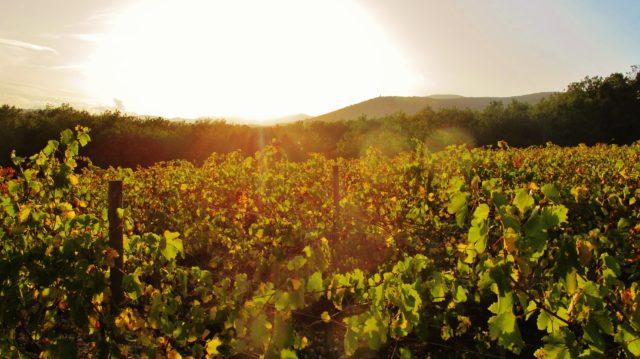 Vigne du Domaine d'Anglas à Brissac