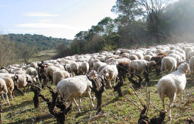 Agrospastoralisme au Domaine d'Anglas