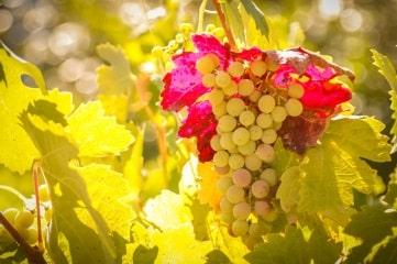 grappe de raisin dans les rayons du soleil